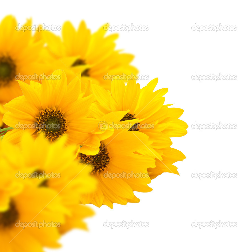 Bunch of bright yellow flowers isolated on white background stock bunch of bright yellow flowers rudbeckia isolated on white background space for your text photo by daffodil mightylinksfo