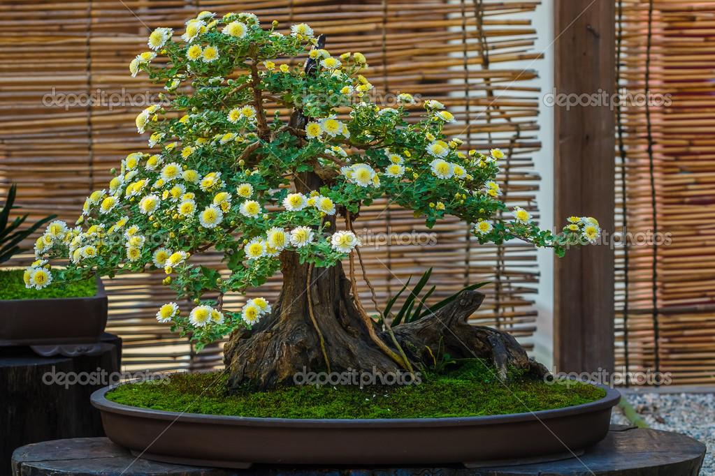 rbol de los bonsais peque o japon s en un jard n fotos