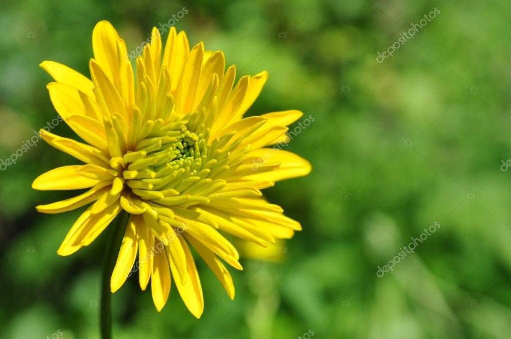 fleur dahlia jaune — photo #18688775