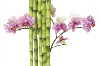 Orchid and green bamboo grove