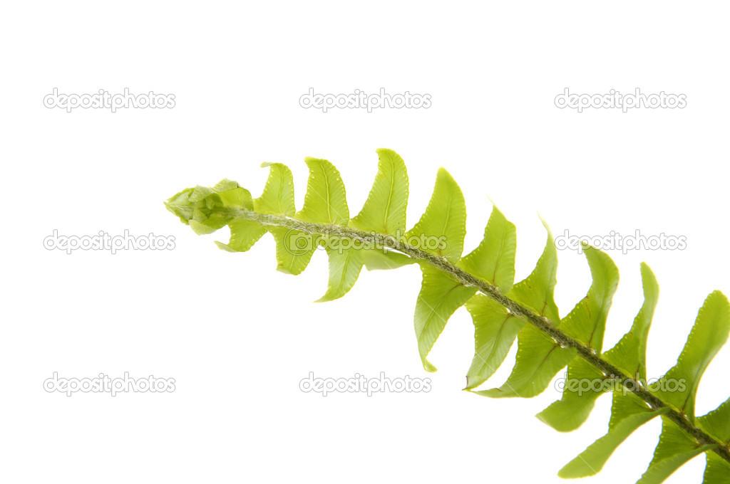 verde hoja de helecho — Foto de stock © camelliawang #22555809