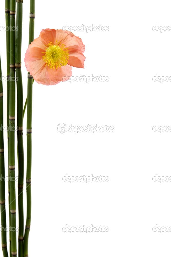 Mohn Mit Dunnen Bambus Hain Stockfoto C Camelliawang 22724911