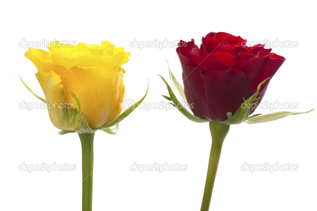 Duas Rosas Amarelas E Vermelhas Fotografias De Stock
