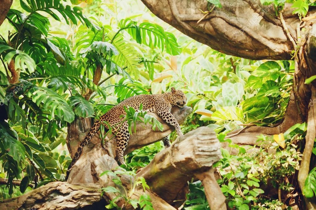 Lying (sleeping) leopard on tree branch