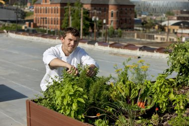 Chef harvests herbs from urban restaurant rooftop