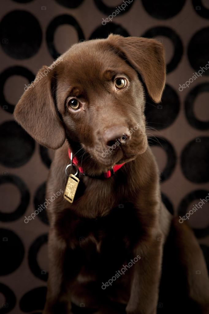 Cool Chocolate Brown Adorable Dog - depositphotos_21360029-stock-photo-adorable-chocolate-lab-puppy  You Should Have_759737  .jpg
