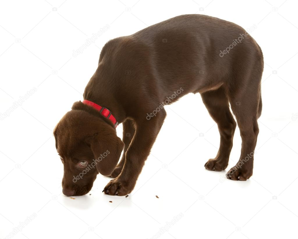 Chocolate lab puppy sniffing