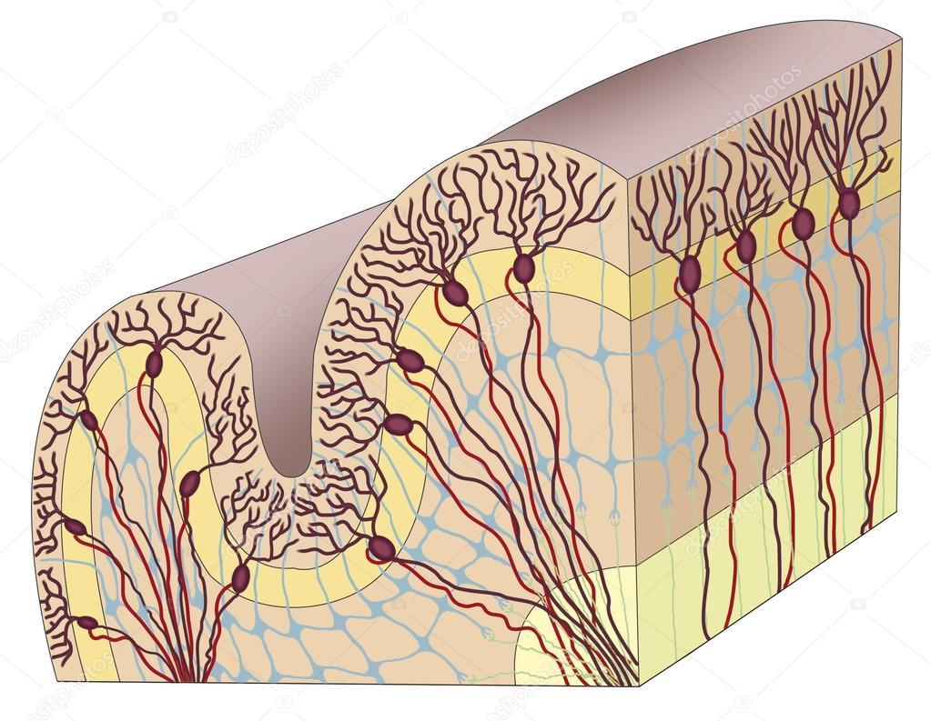 corteza cerebral humana foto de stock alexilus 21672461. Black Bedroom Furniture Sets. Home Design Ideas