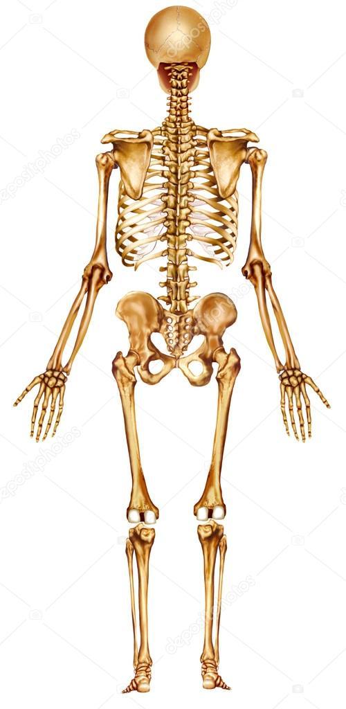 esqueleto vuelta ve — Foto de stock © Alexilus #21672547