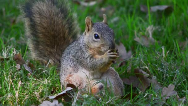 Squirrel gnaws nut