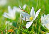 Fotografie White spring flower