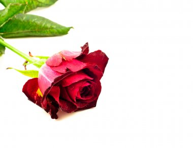Red Rose on White Background Flat