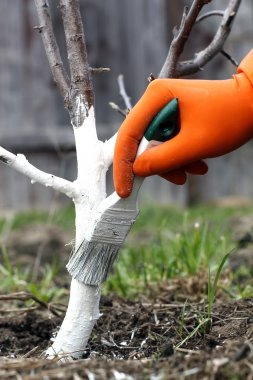 SPRING protection of fruit trees in the garden. whitewashing trees