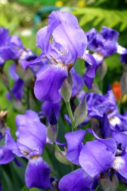 Purple irises blossoming in a garden