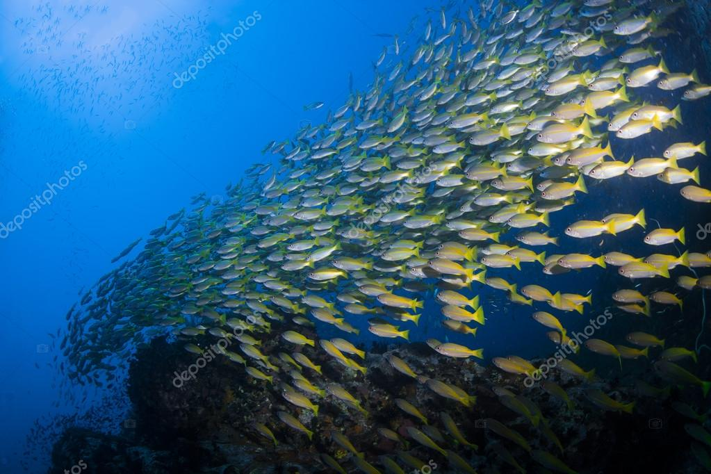 School of yellow Fusiliers swimming over a coral reef in the Similan Islands near Khao Lak in Thailand's Andaman Sea.