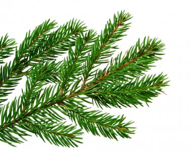 Fresh green fir branch isolated on white background