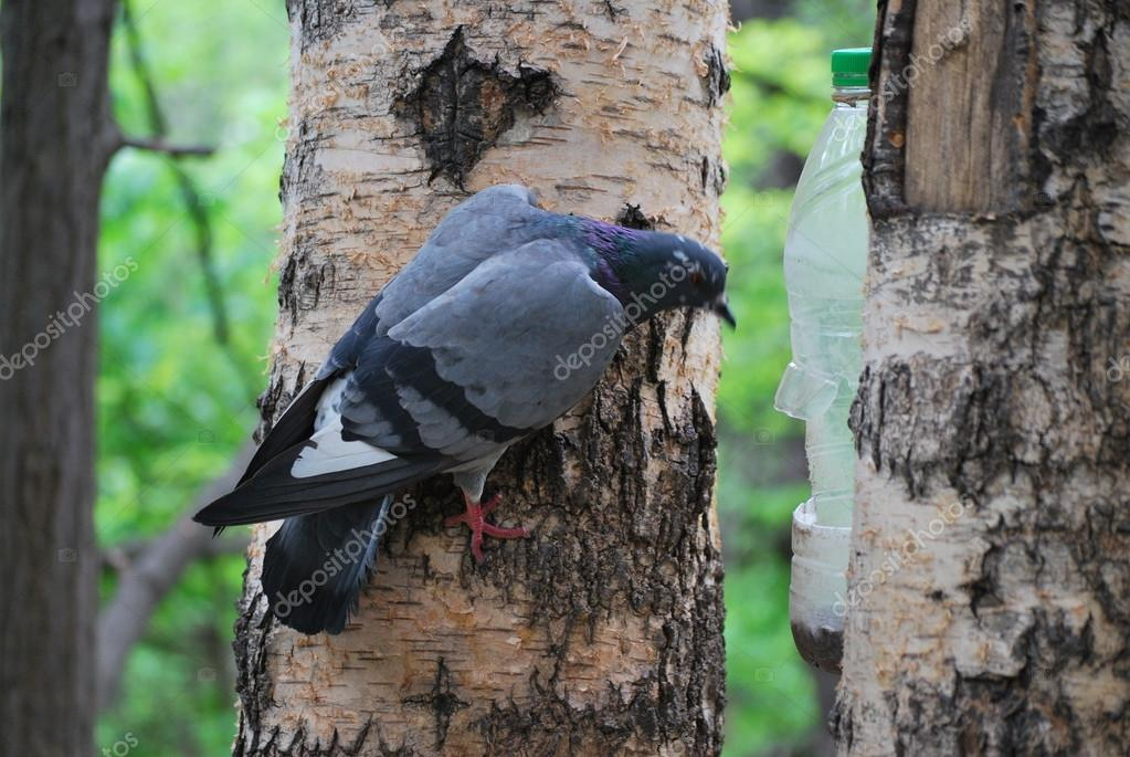 Pigeon eating food from bird feeders for squirrels in Gorky Park in Moscow