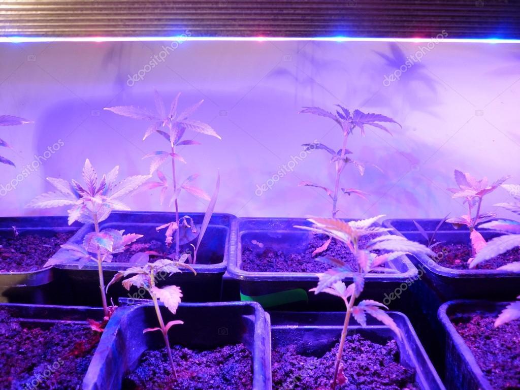 Cannabis under LED light