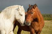 ein Paar Pferde, die Zuneigung zeigen