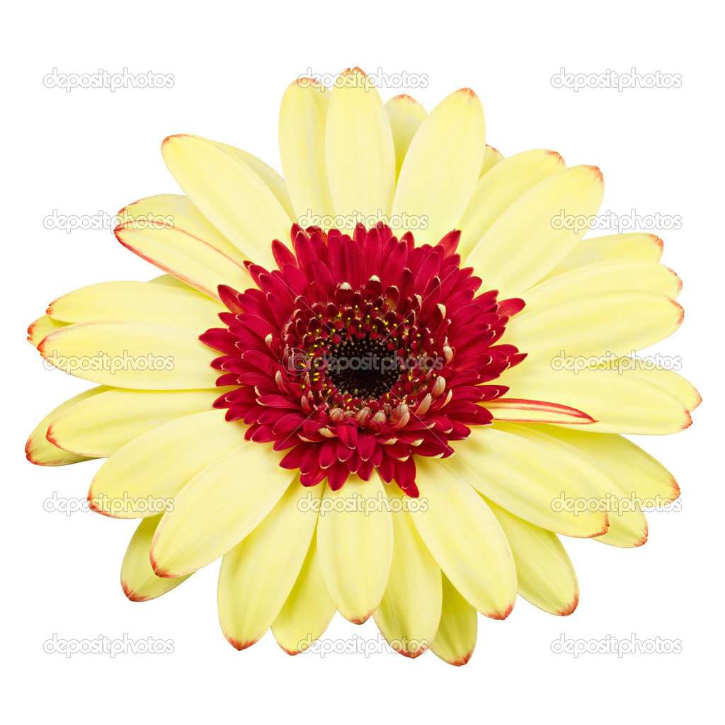 Gerber flower red and yellow isolated