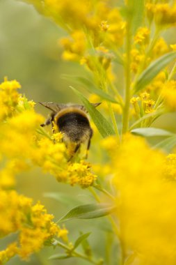 Bumblebee on yellow flowers