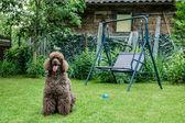 portrét královského pudla černého psa s vyplazeným jazykem