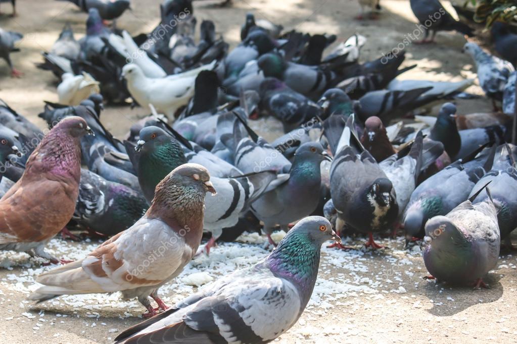 pigeons mangent des graines dans le jardin photographie panupong1982 42722333. Black Bedroom Furniture Sets. Home Design Ideas