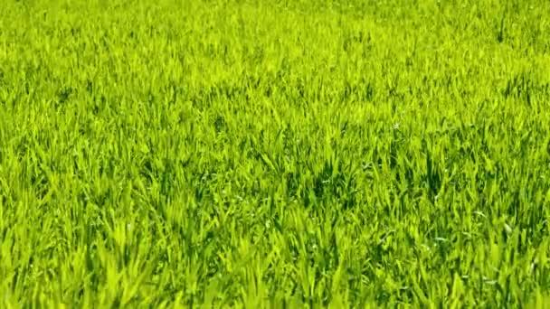 zöld fű textúra