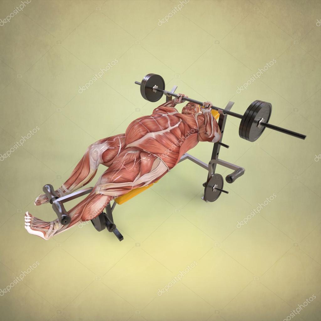 menschliche Anatomie anhebende Gewichte — Stockfoto ...