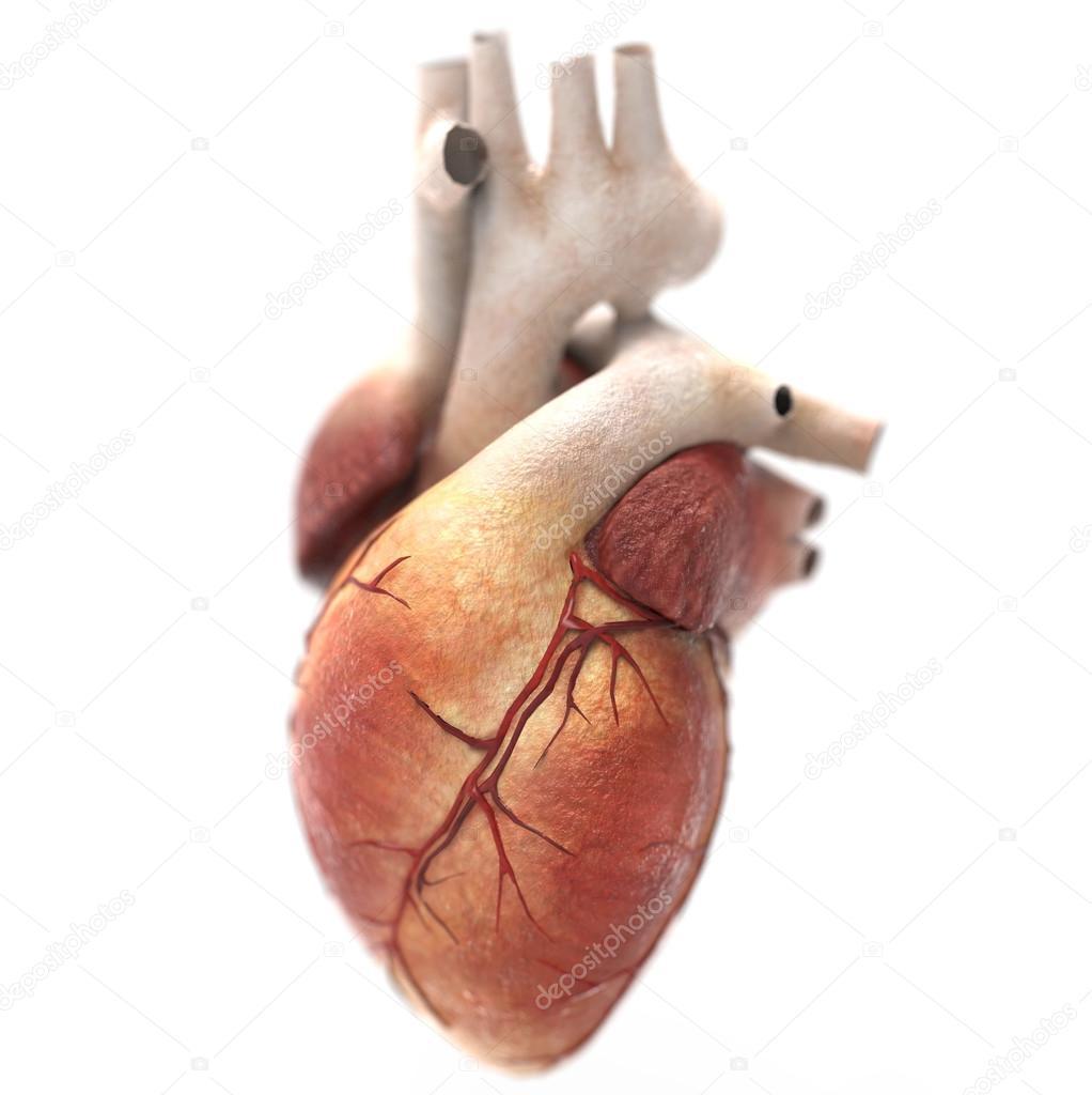 Menschliches Herz Anatomie — Stockfoto © Giovanni_Cancemi #36420469