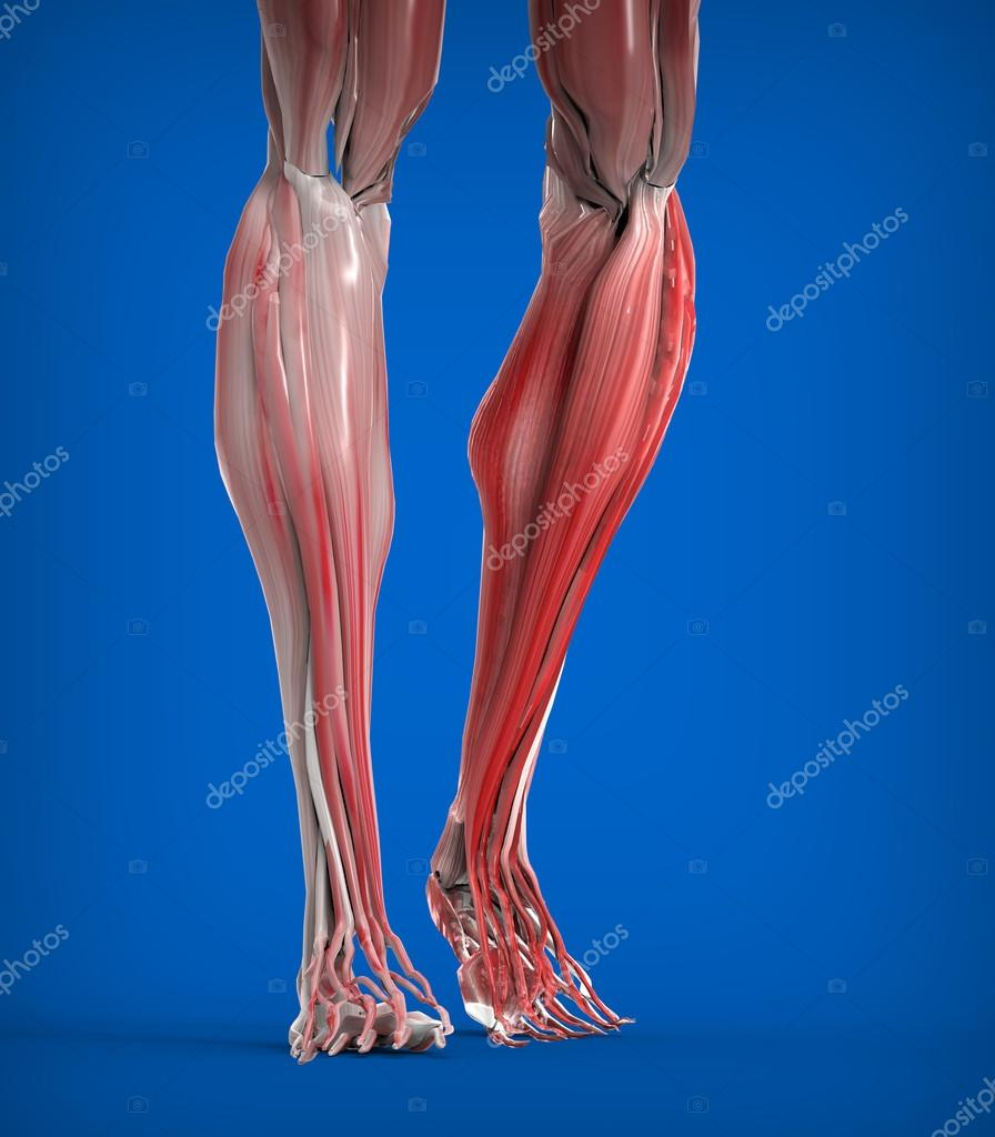 Lower Legs Muscles Anatomy Stock Photo Giovannicancemi 45530891