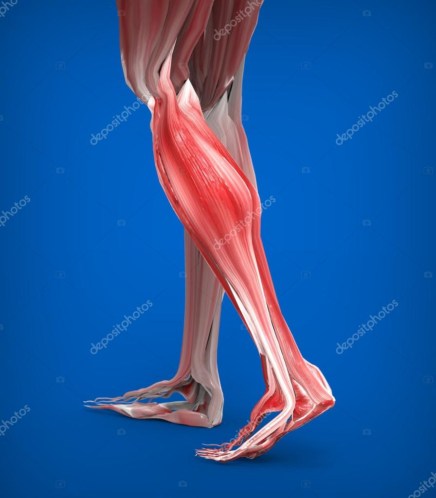 Lower Legs Muscles Anatomy — Stock Photo © Giovanni_Cancemi #45531019