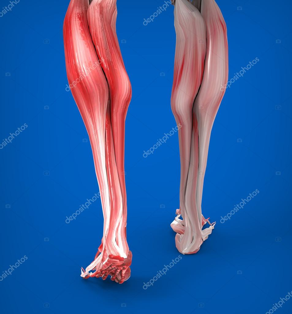 Lower Legs Muscles Anatomy — Stock Photo © Giovanni_Cancemi #45531073