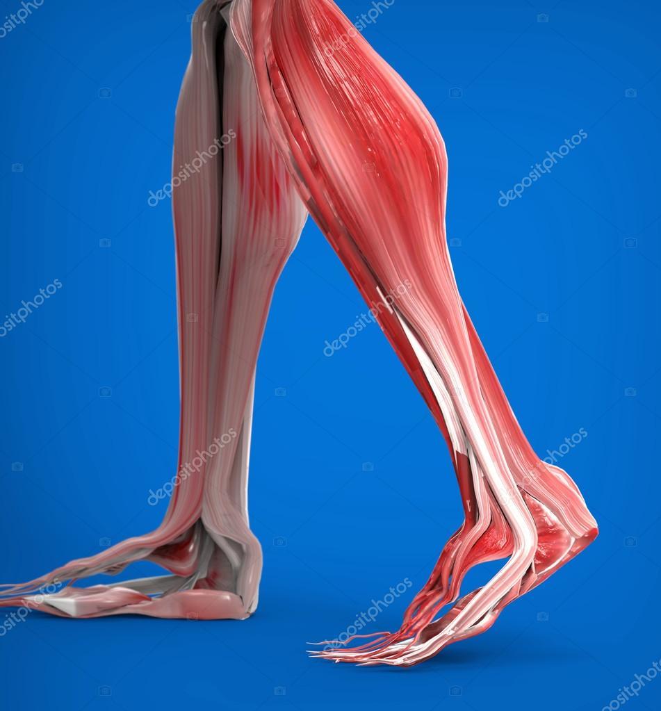 unteren Beine Muskeln Anatomie — Stockfoto © Giovanni_Cancemi #45531133