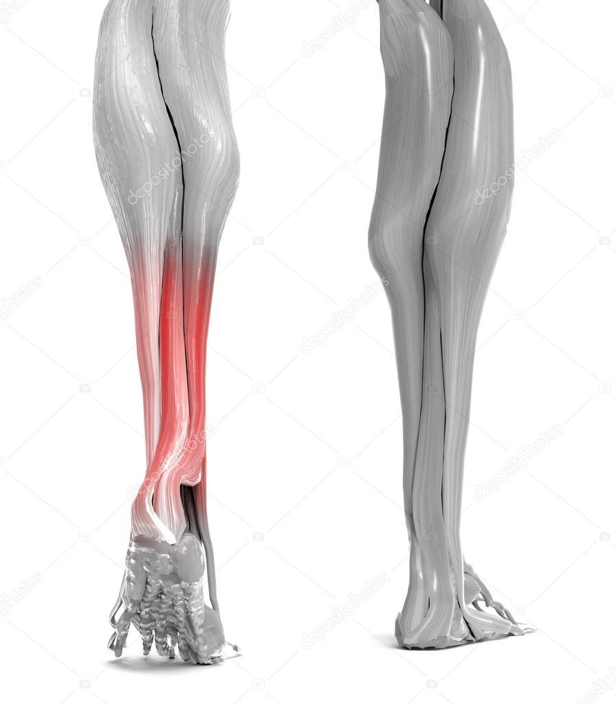 Anatomía de los músculos de las piernas inferior — Fotos de Stock ...