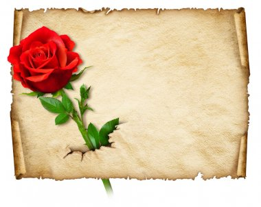 Old curly paper with red rose, space for text or images
