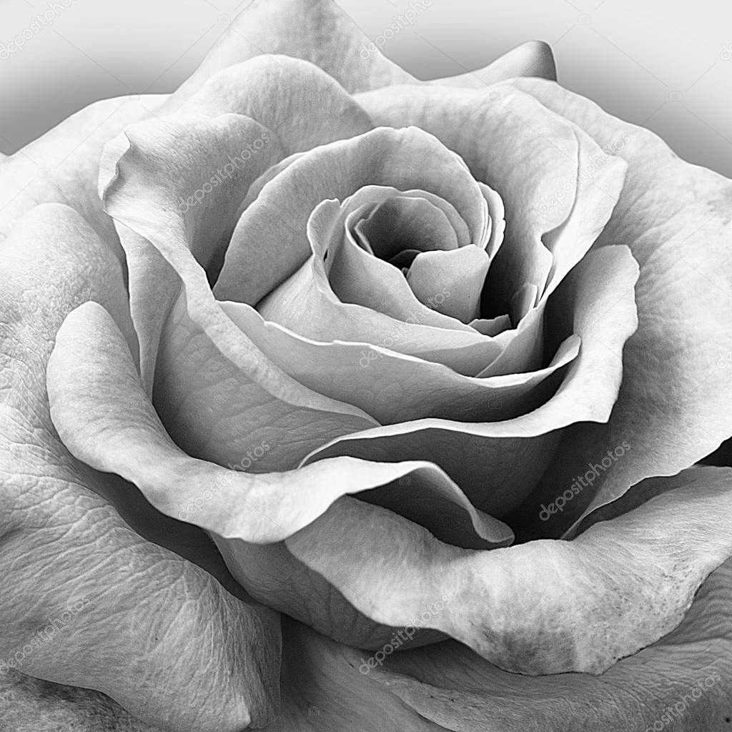 Beautiful rose in black and white