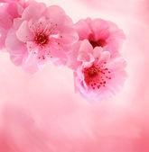 Fotografia Primavera fiori di ciliegio su sfondo rosa