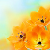 Spring sun star flowers