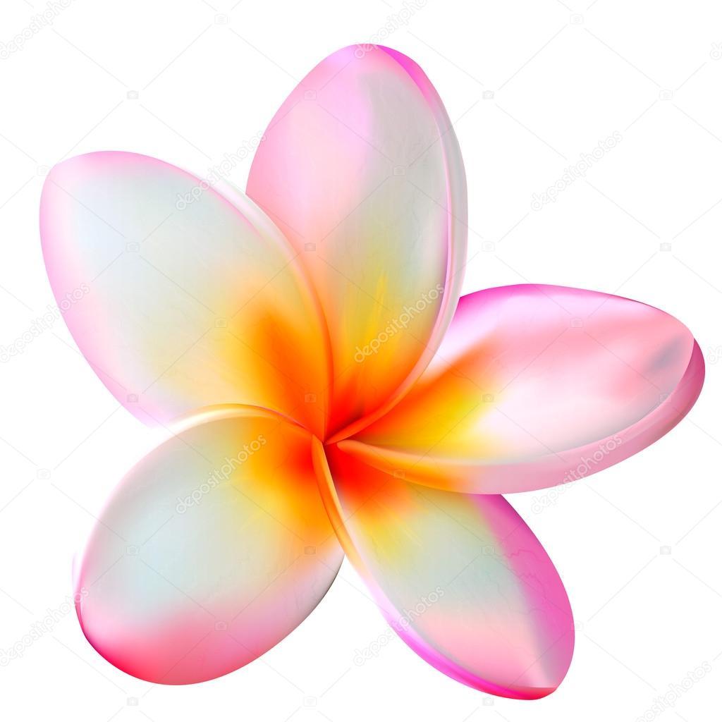 Pink plumeria flower. Vector illustration