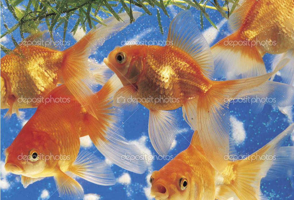 картинки золотая рыбка на рабочем столе предназначенный для проведения