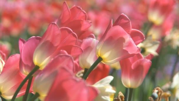 tulipány, pohybující se ve větru
