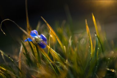 Little blue viola wild flower in sunset