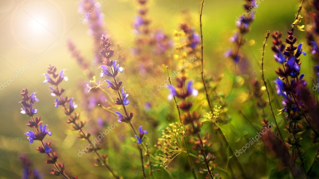 Полевые цветы на закате