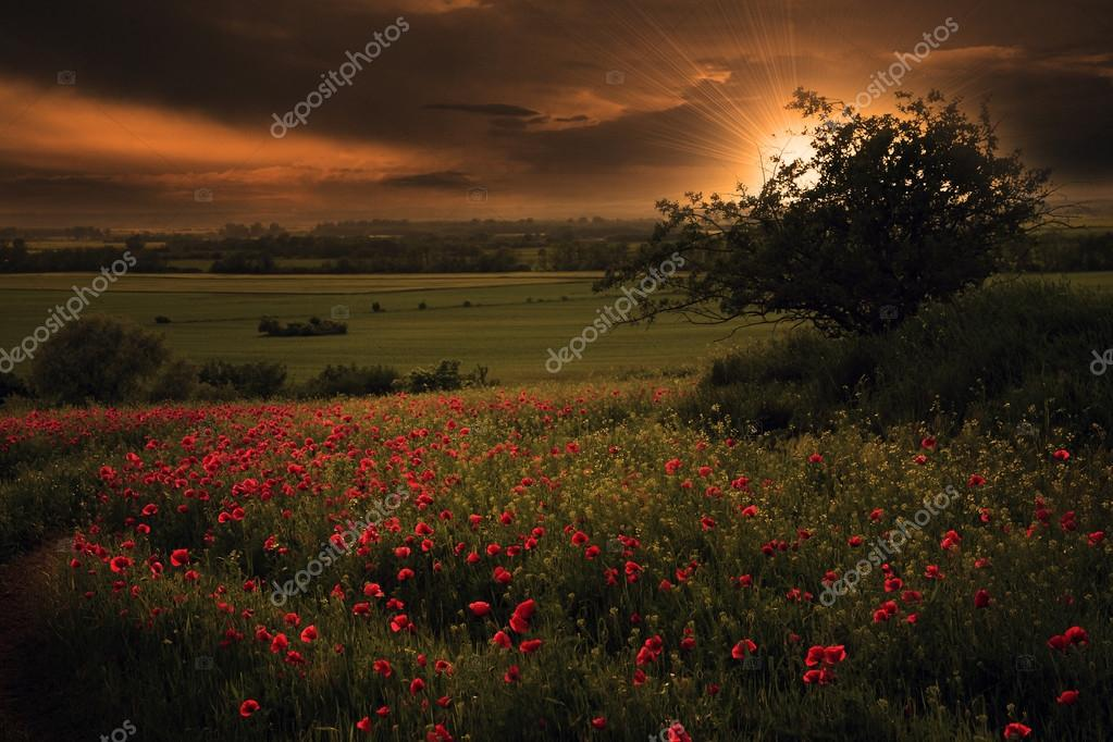 Rural scenery with lots of poppies in sunset with ray of