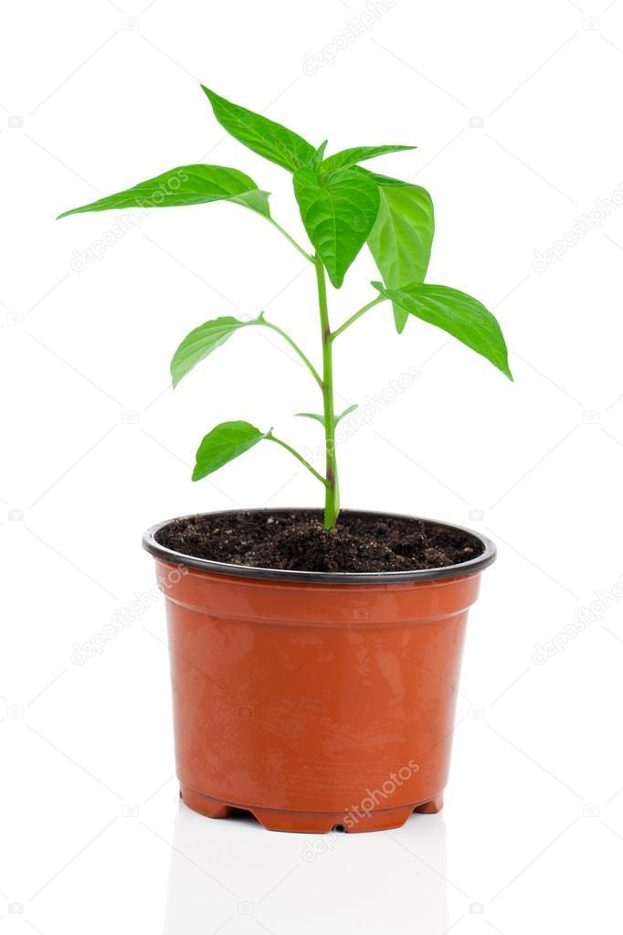 Paprika Pflanzen Im Topf