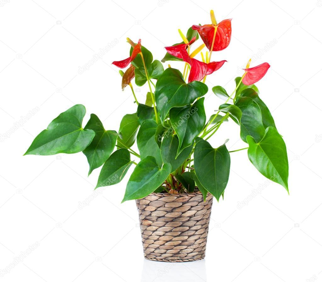 Fondo Nombres De Blanco Flores Rosas Rojas Aislado Sobre Fondo