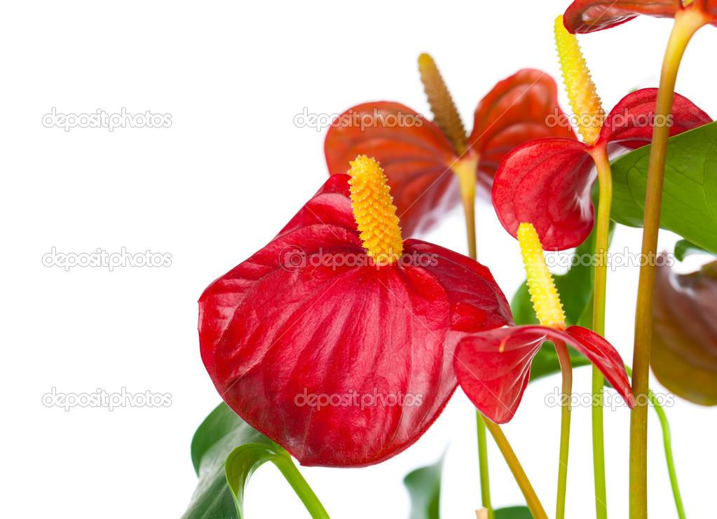 Flores Rosas Rojas Aislado Sobre Fondo Blanco Fotos De Stock