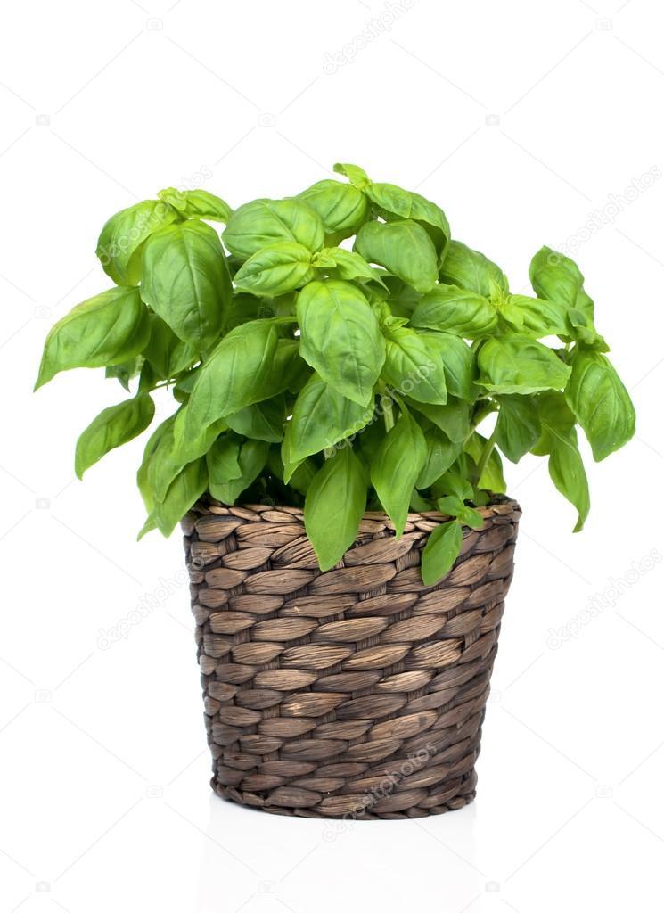 Im genes una maceta de albahaca albahaca planta en for Basilico vaso