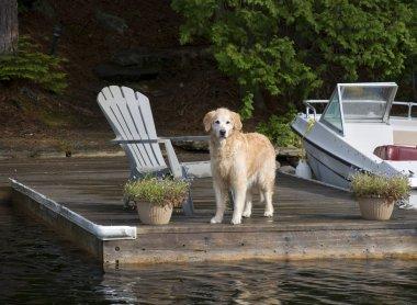 Retriever on the Dock
